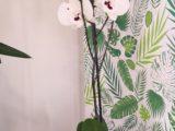 Orchidée» phalaénopsis XXL»