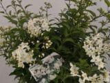 Le Solanum blanc